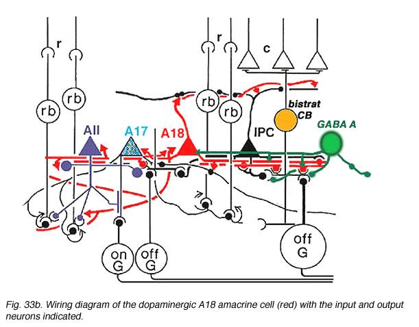 Roles of Amacrine Cells by Helga Kolb \u2013 Webvision