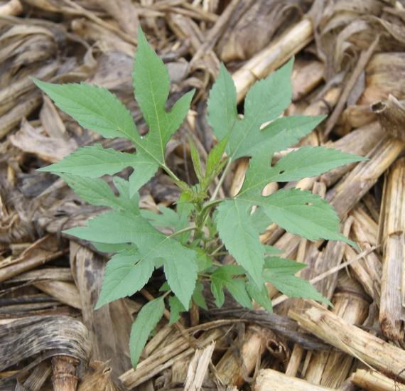Giant Ragweed   Mizzou WeedID