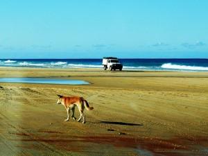 dingo errant