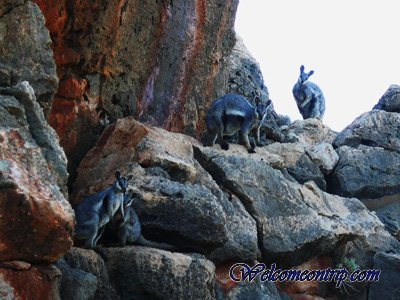 rock-wallaby
