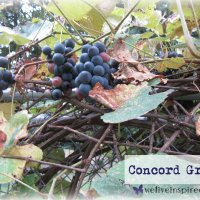 Let's Harvest Grapes Together! A Whimsical Tour of My Cottage Grape Vines