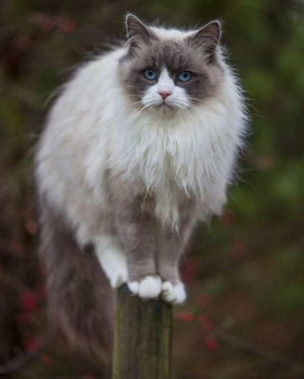 how to say ragdoll cat in french