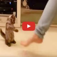 Tiny Kitten Adorably Dances With Her Owner