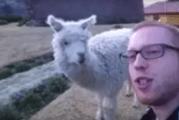 The Alpaca (Video)
