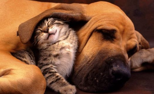 Cat-and-dog_sleeping