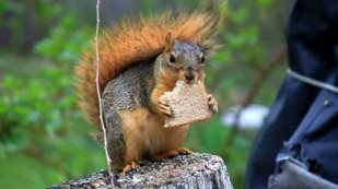 stock-footage-squirrel-eating-bread