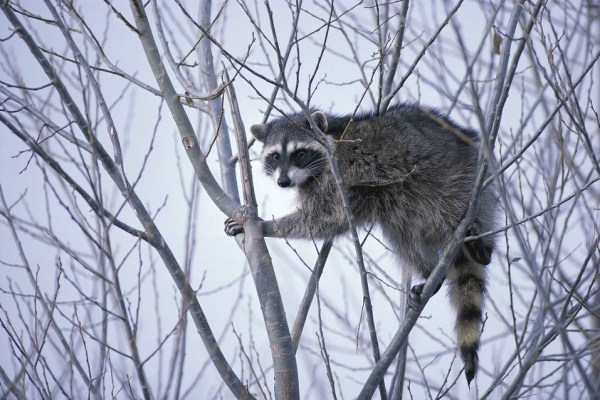 raccoon-western-cats-inc