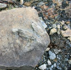 Meat-eating dinosaur footprint in Yukon, Alaska
