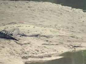 Während der Radtour entdeckten wir ein Krokodil mit Nachwuchs
