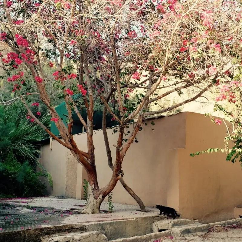Blühender Baum mit Katze, Ma'In, Jordanien