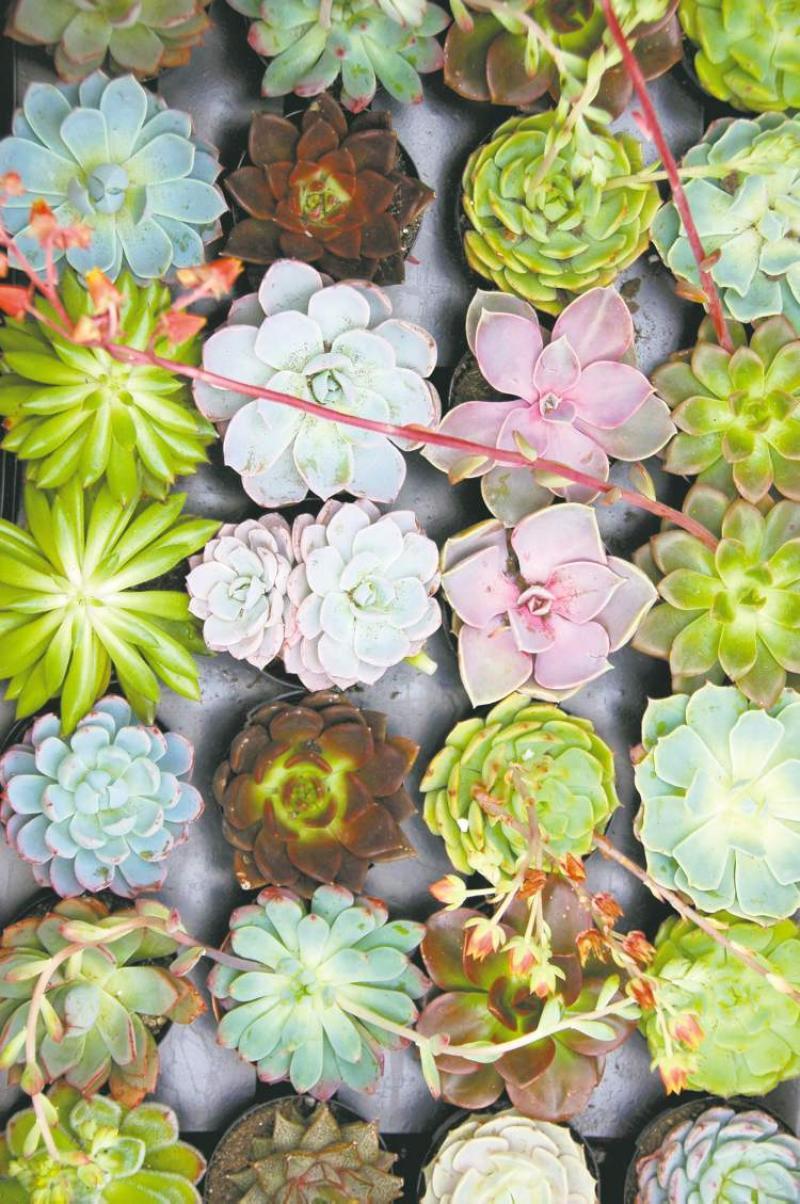 Fall Succulent Wallpaper Sensational Succulents Winnipeg Free Press Homes