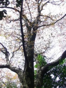 miyajima4