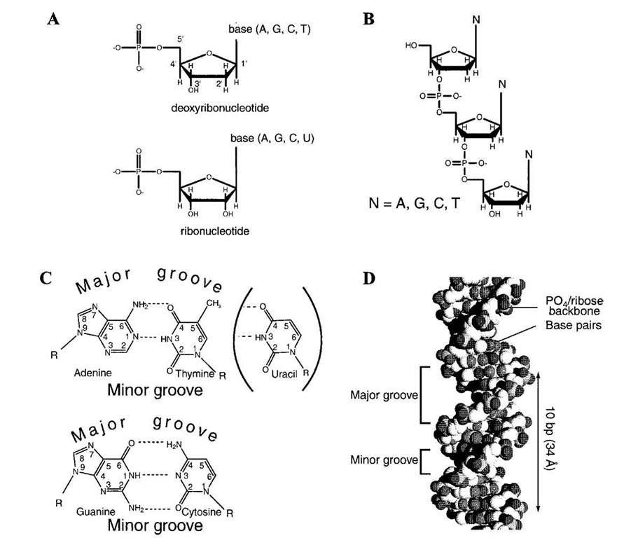 STRUCTURE AND FUNCTION OF NUCLEIC ACIDS