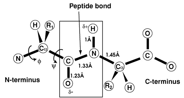SECONDARY STRUCTURAL MOTIFS (Protein Structure)