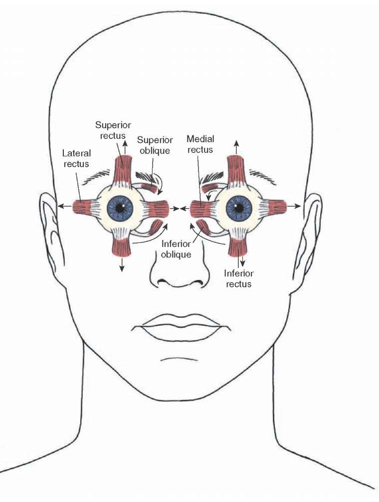 eye nerves diagram