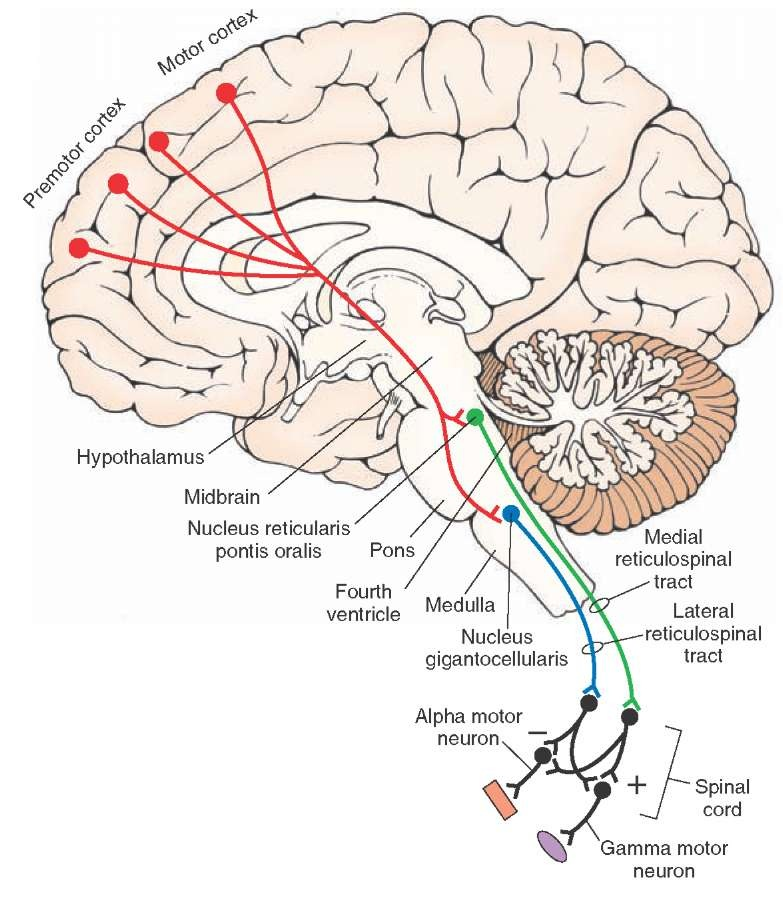 The Reticular Formation (Integrative Systems) Part 3