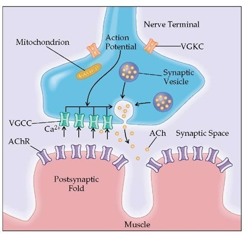 Diseases of Muscle and the Neuromuscular Junction Part 5 - neuromuscular junction