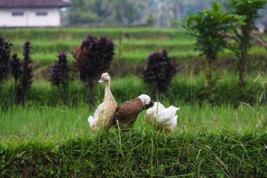 Bali duck in rice paddy