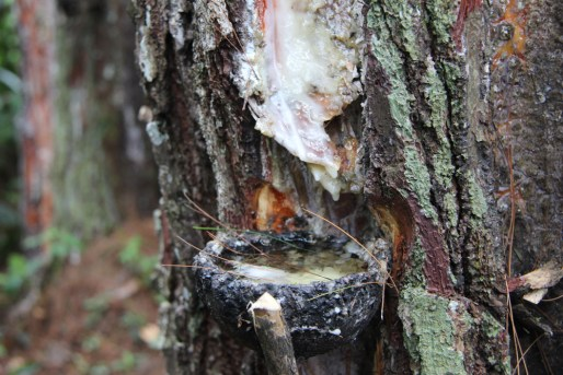Collecting Tree Sap