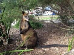 Wallaby Up Close