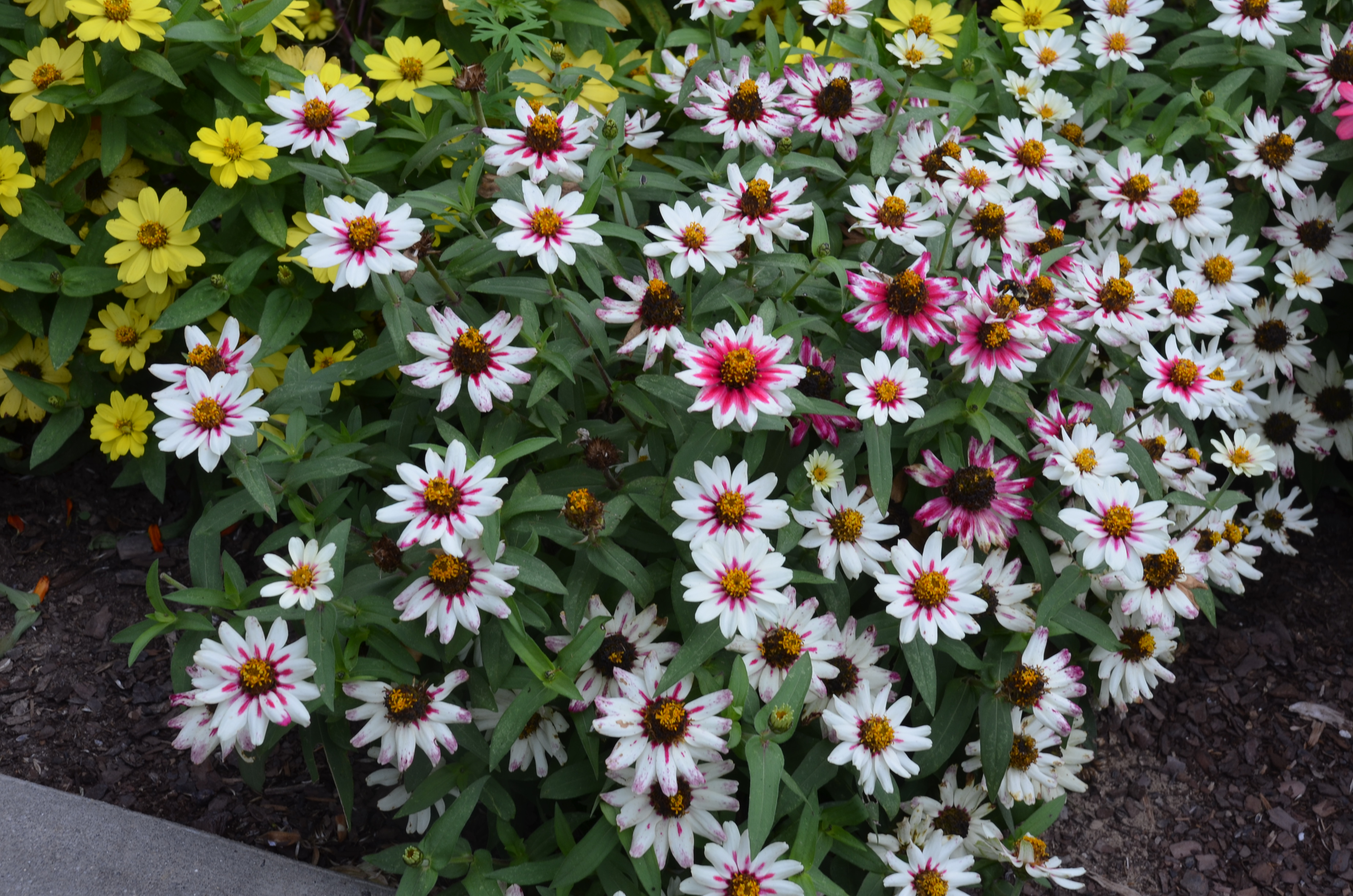 Drought Resistant Garden Ideas Star Zinnias Handle Heat And Dry Weather | What Grows