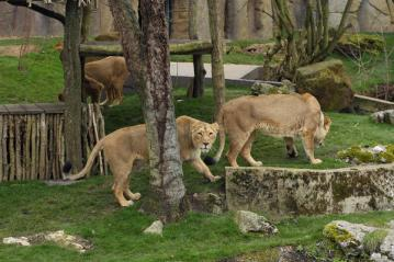 ZSL London Zoo Land of the Lions © ZSL London Zoo