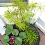 DIY Water Garden, how to make a water garden on the deck; water lily, dwarf papyrus, blue moneywort