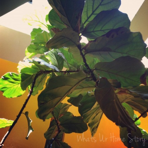 Whats Ur Home Story: Fiddle Leaf Fig