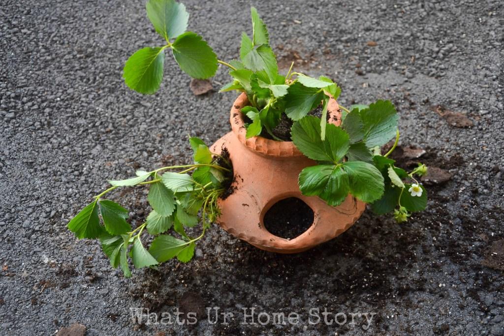 strawberry pot planter