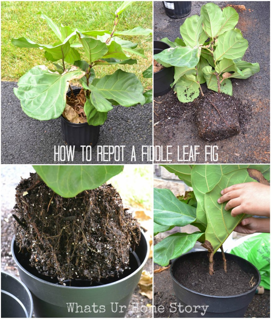 how to repot a Fiddle Leaf Fig, Fiddle Leaf Fig Tree Care
