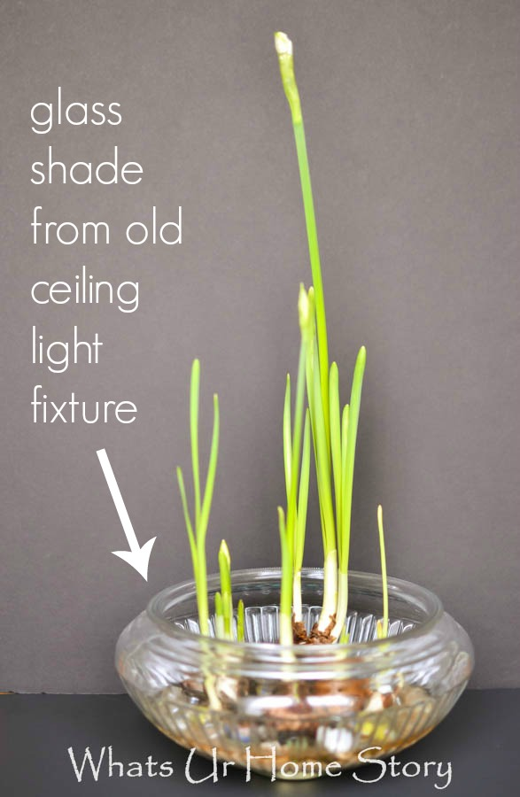 grow paperwhites in water- repurpose glass shade from light fixture as a bowl