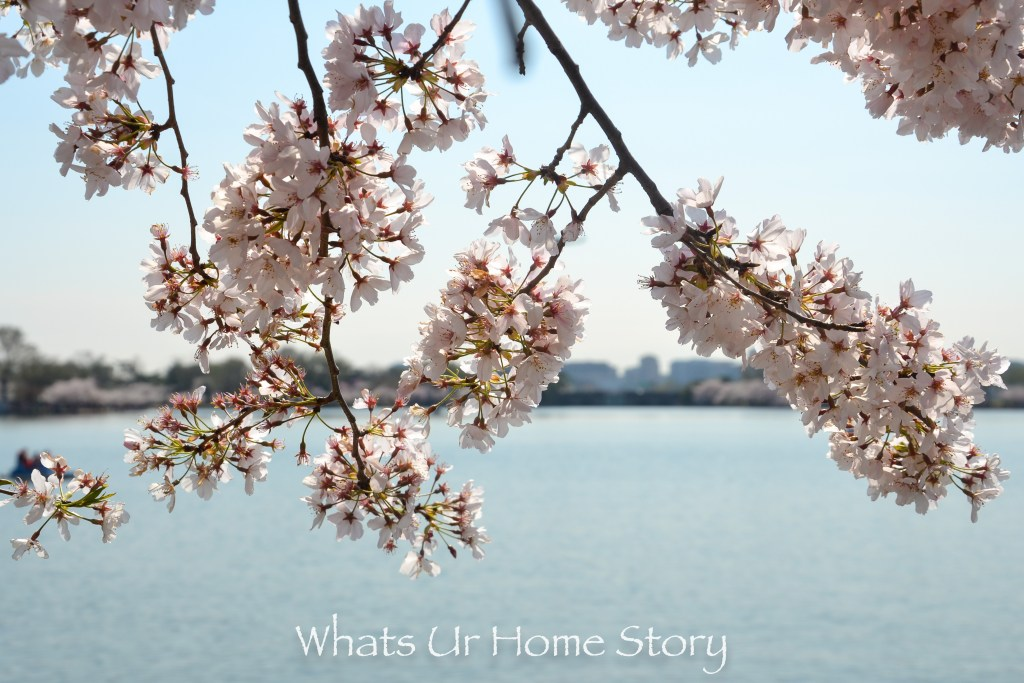 DC Cherry Blossoms & the Potomac 2016