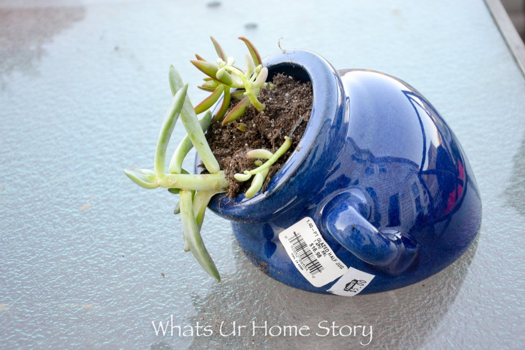 Succulents for cheap- great tips in this post. Look for succulents in the clearance section to save a few bucks