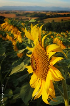 Colors of sunflowers