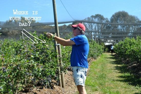 dad-blueberrypicking