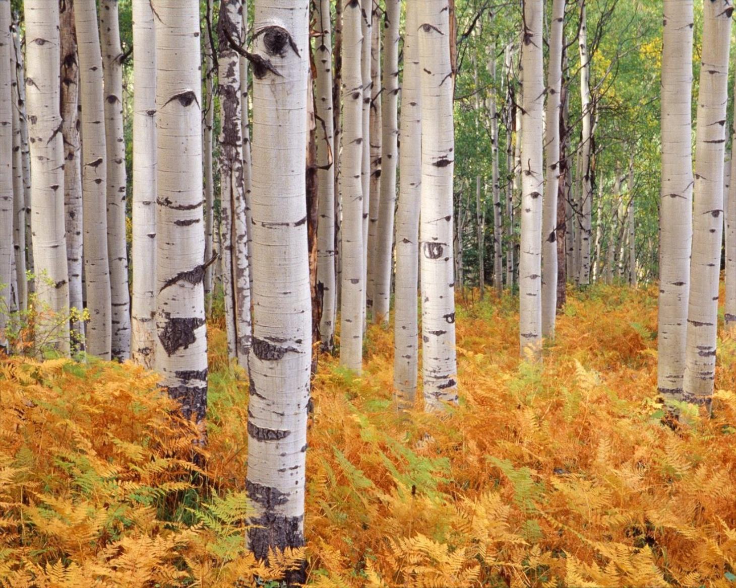 Fall Birch Tree Wallpaper Extravagant Tree Branches