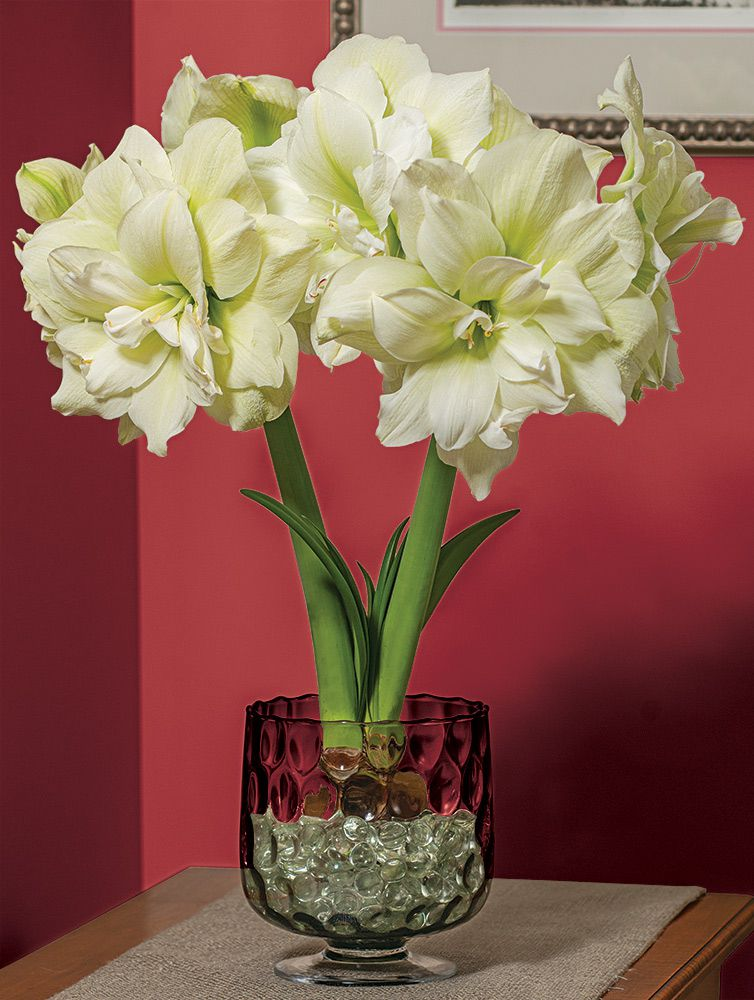 Hydrangea Flower Delivery Amaryllis Marilyn | White Flower Farm