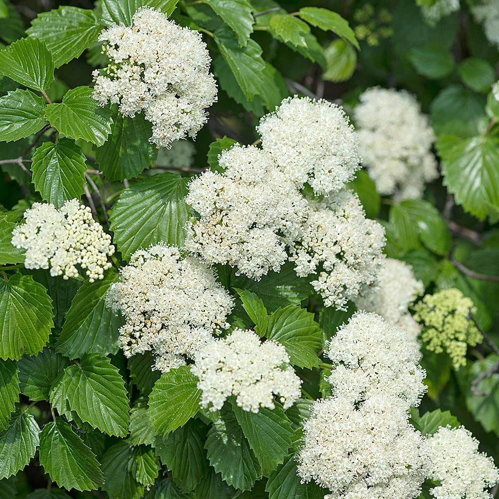 Hydrangea Flower Delivery Viburnum Dentatum | White Flower Farm