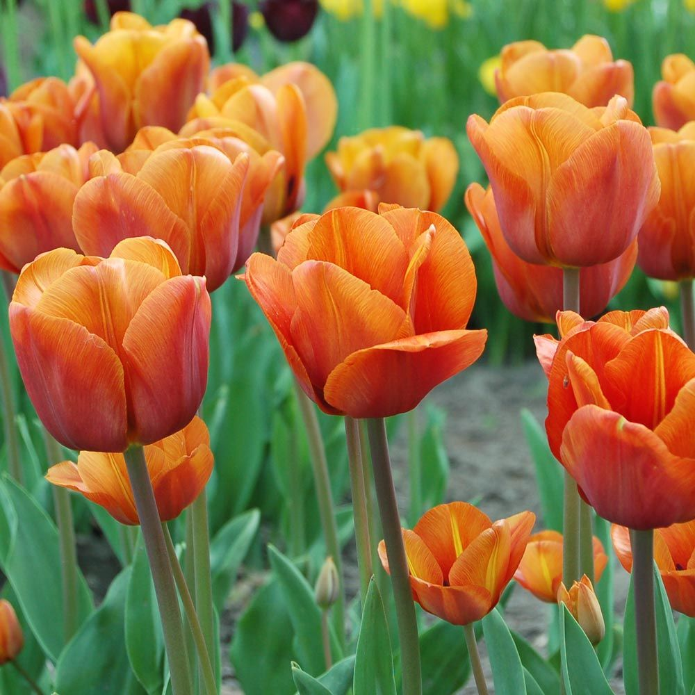 Tulip Cairo | White Flower Farm
