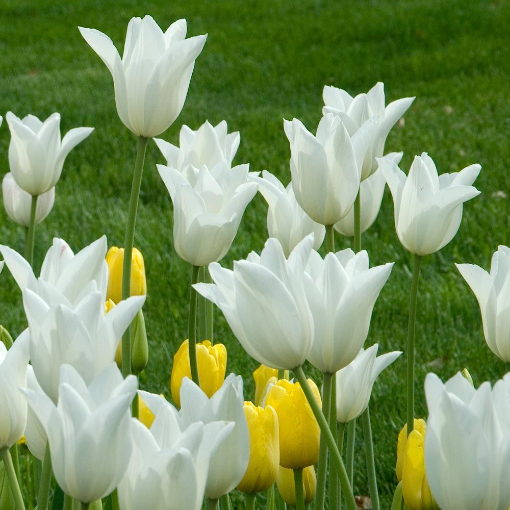 Tulip White Triumphator White Flower Farm