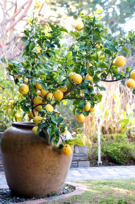 How To Grow A Lemon Tree In A Pot – White On Rice Couple