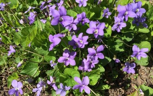 Medium Of African Violets For Sale