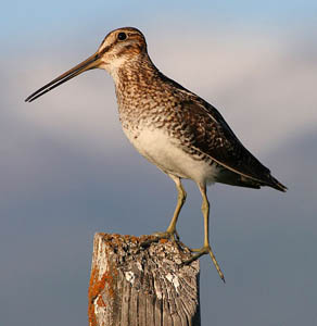Everything You Need to Know About Snipe Hunting Season in Wisconsin