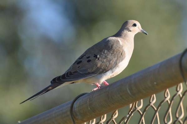 Mourning Dove - Wisconsin State Symbol