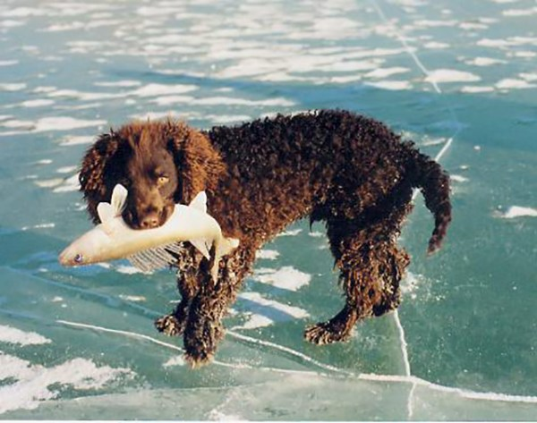 american-water-spaniel - Wisconsin State Symbol