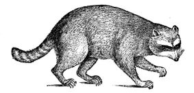 800px-PSM_V04_D165_Racoon
