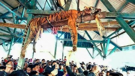 March 4, 2018: The carcass of an endangered Sumatran tiger is pictured hanging from the beams of a public gathering space in an Indonesian village. (AFP/Getty)