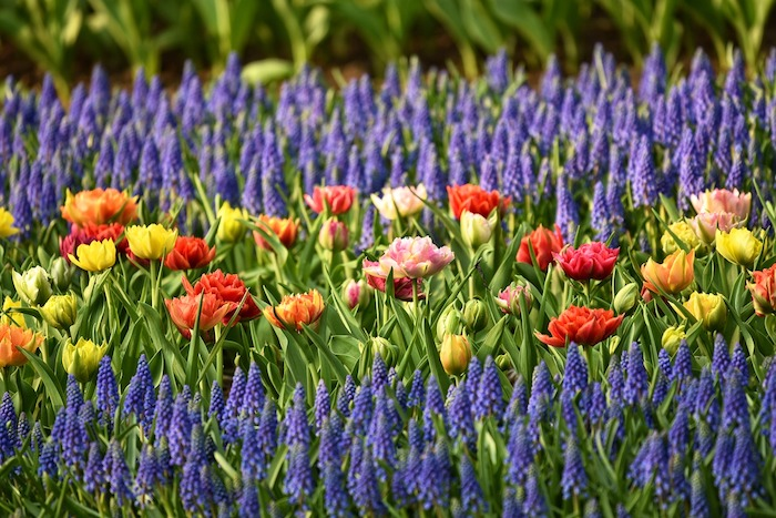 Spring Bulbs The Rules for Rebloom are the Same Around the World - photo of spring
