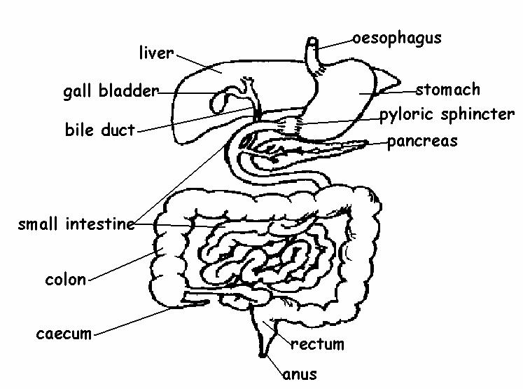 not the stomach diagram labeled