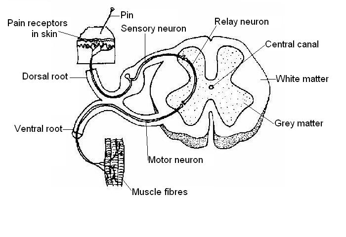spine nerve diagram
